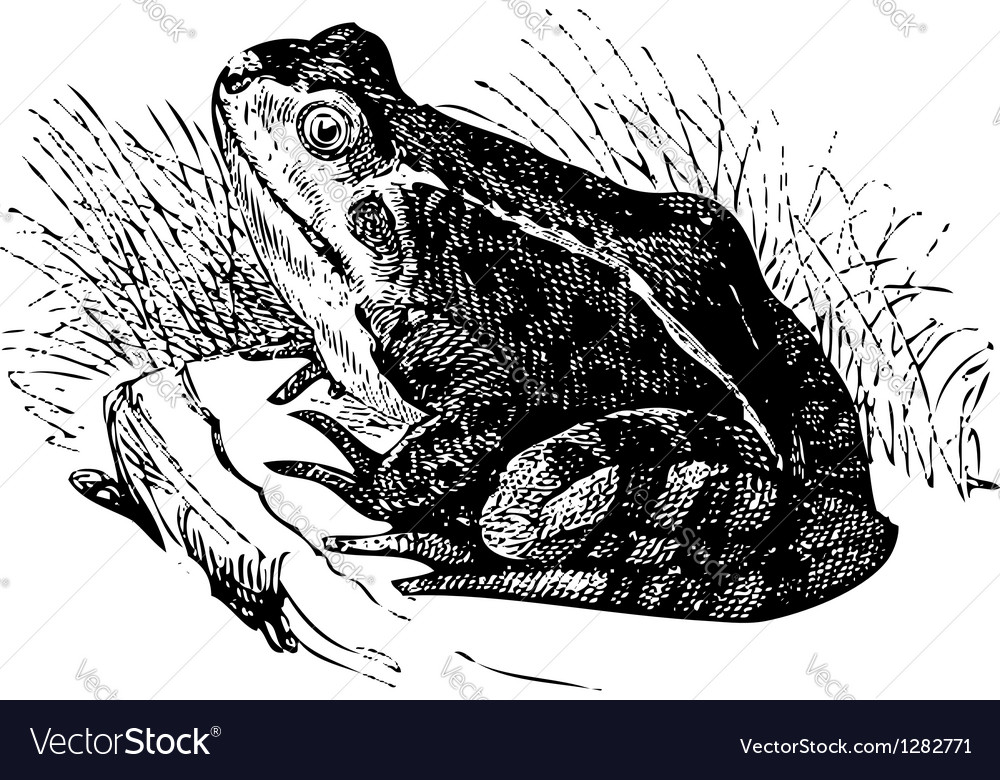 Water frog old vector image