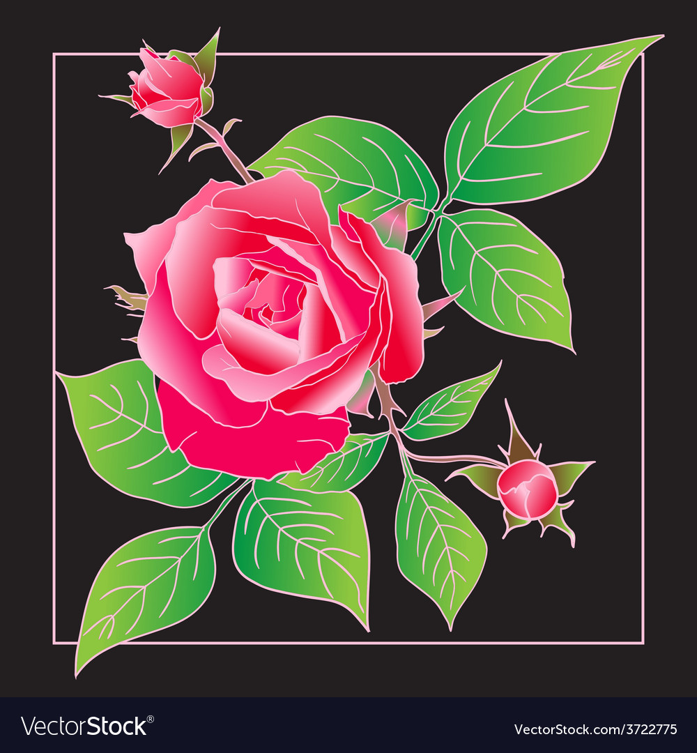 Beautiful rose isolated on black vector image