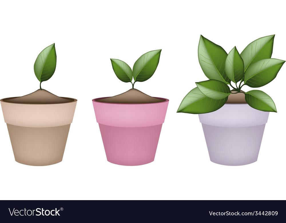 Lovely Green Trees in Terracotta Flower Pots Vector Image