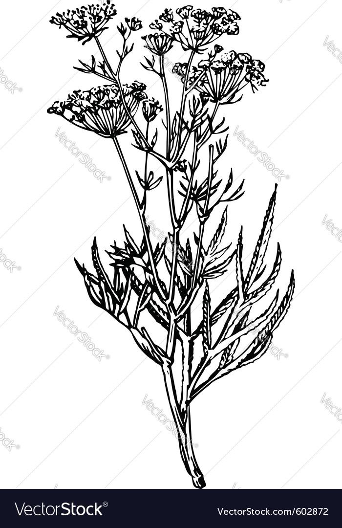 Plant falcaria vector image