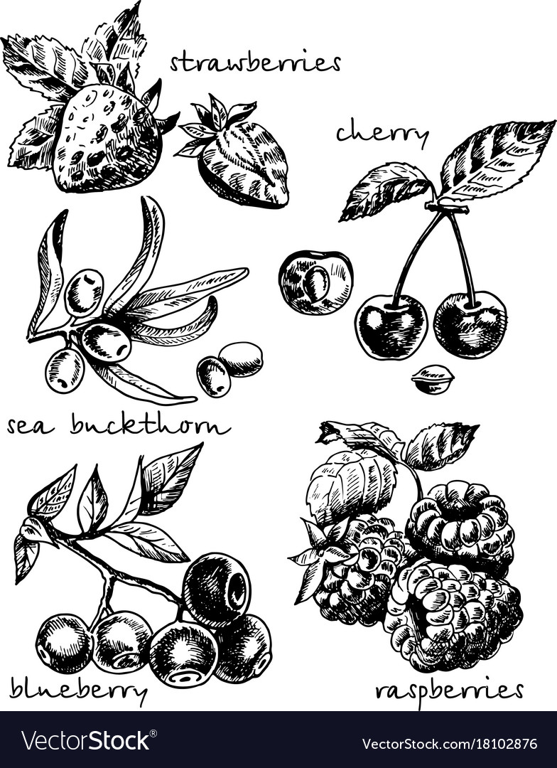 Ink hand drawn sketch style berries set vector image