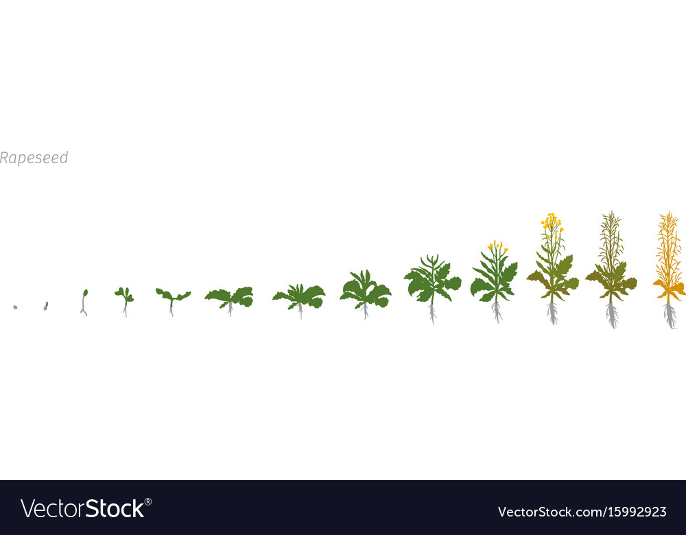Rapeseed brassica napus oilseed rape growth stages vector image