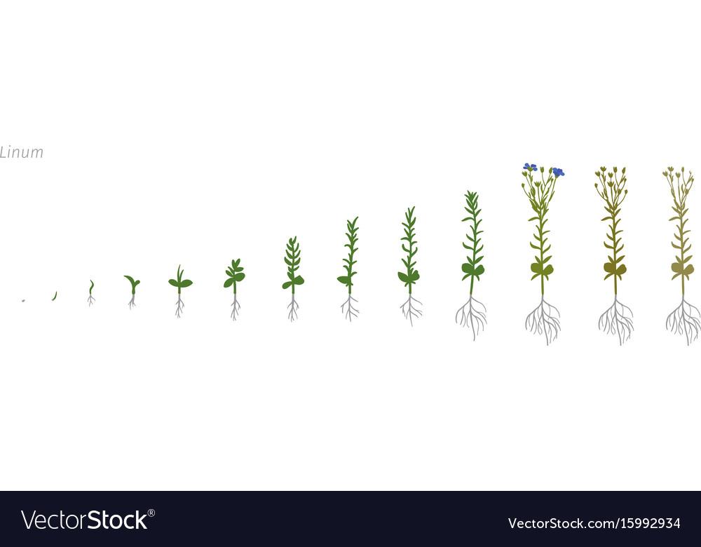 Flax linum usitatissimum growth stages vector image