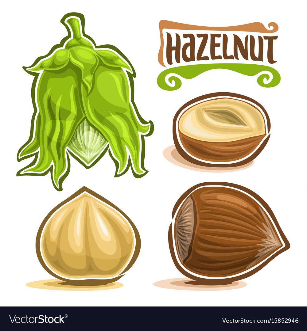 Set of hazelnut nuts vector image