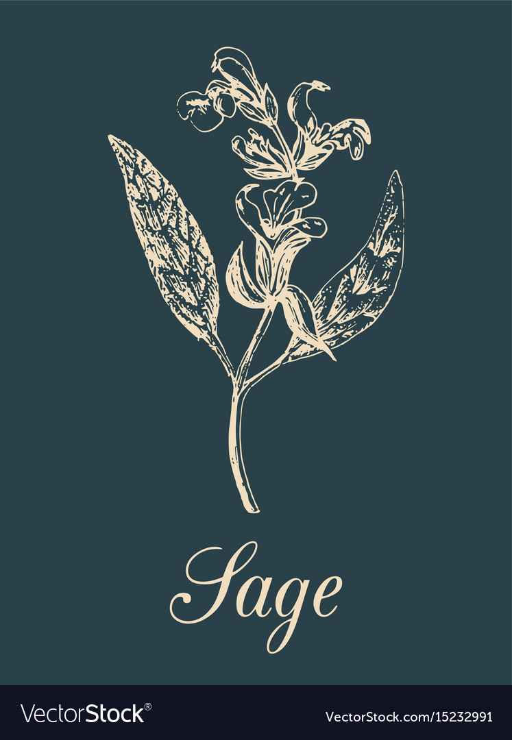 Sage in engraving style hand vector image