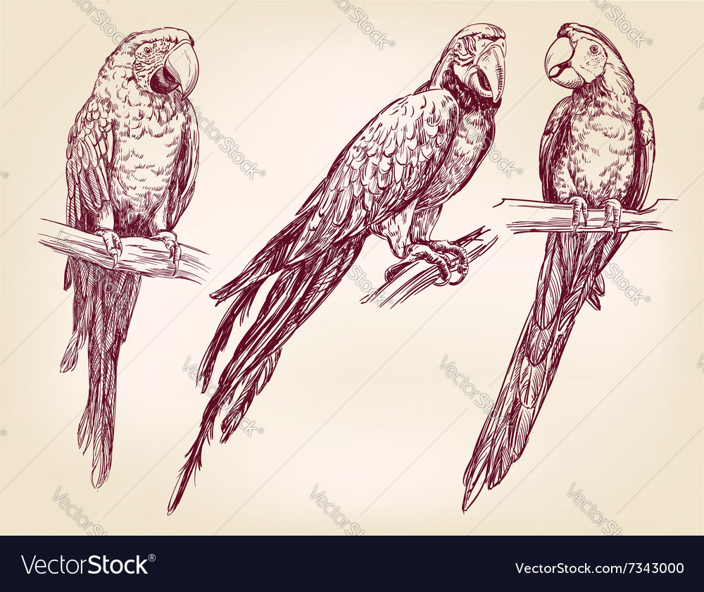 Parrot set isolated hand drawn llustration vector image