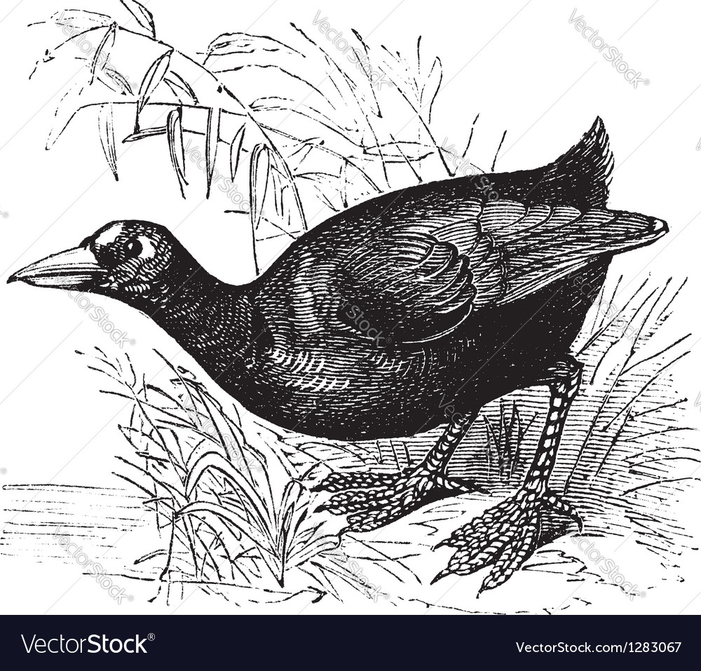 Vintage American Coot vector image
