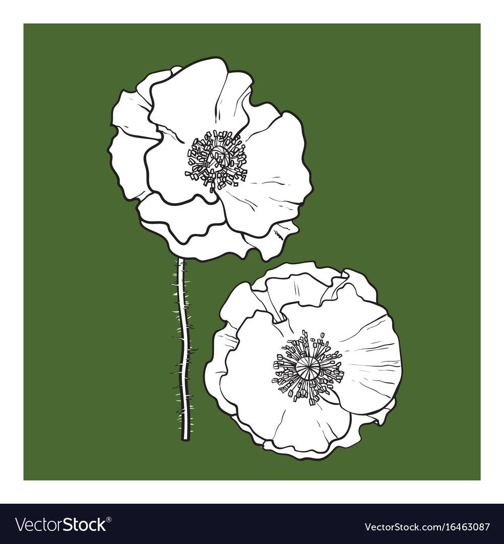 Black and white poppy flower blossom vector image