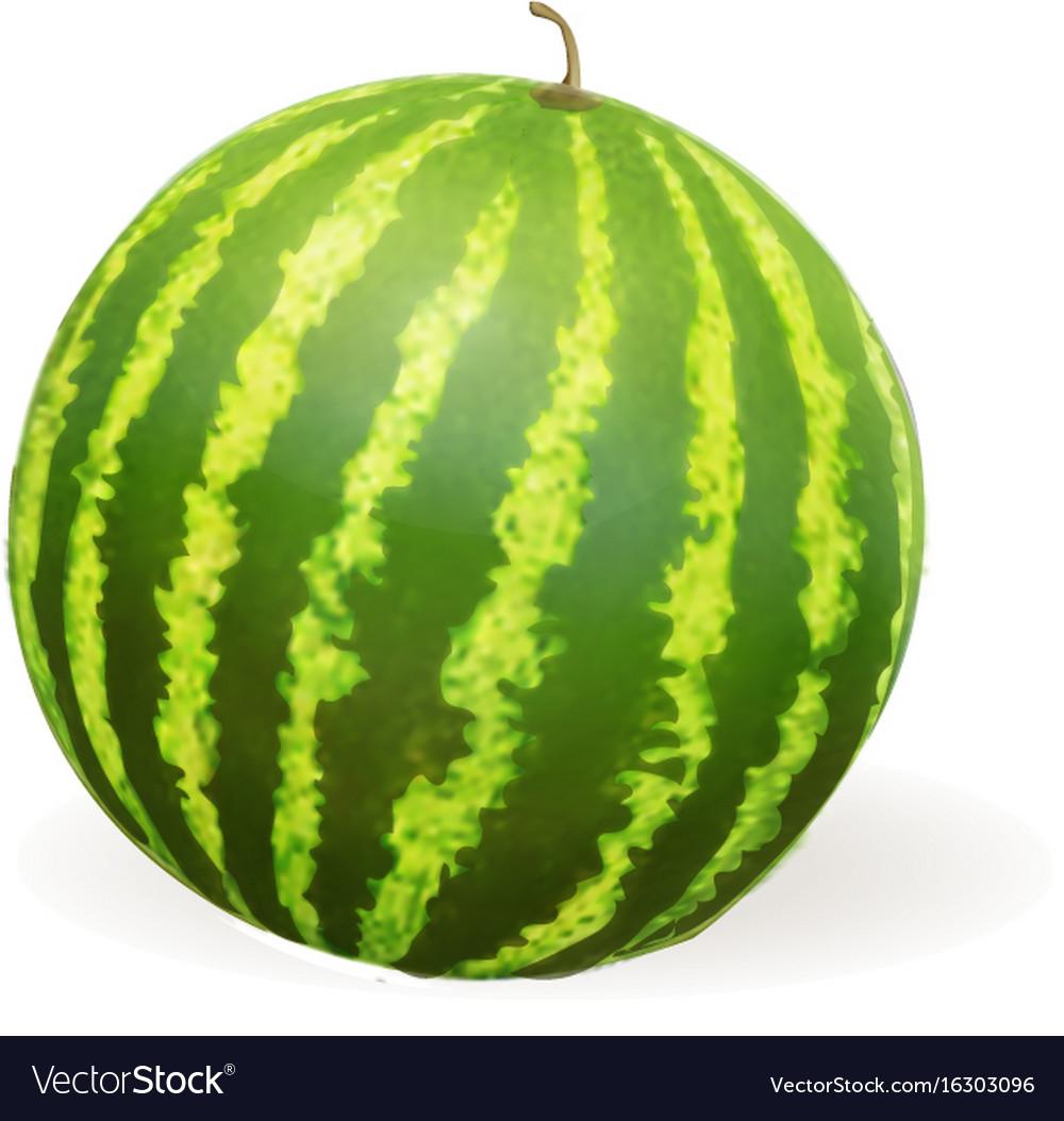 Watermelon realistic vector image
