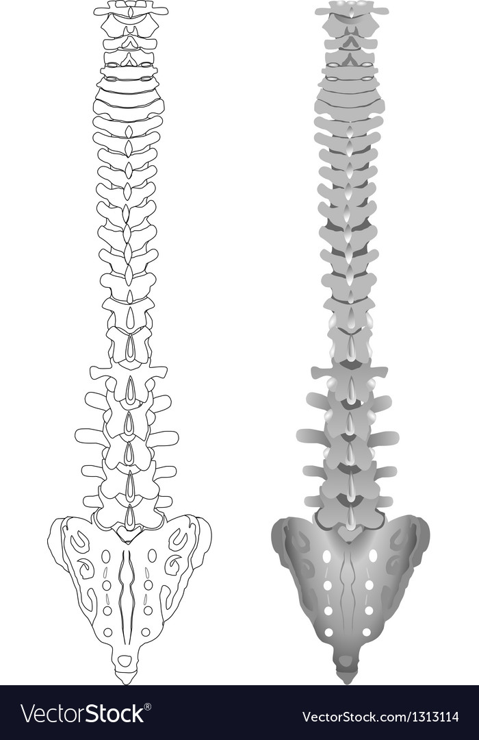 Drawing spine vector image