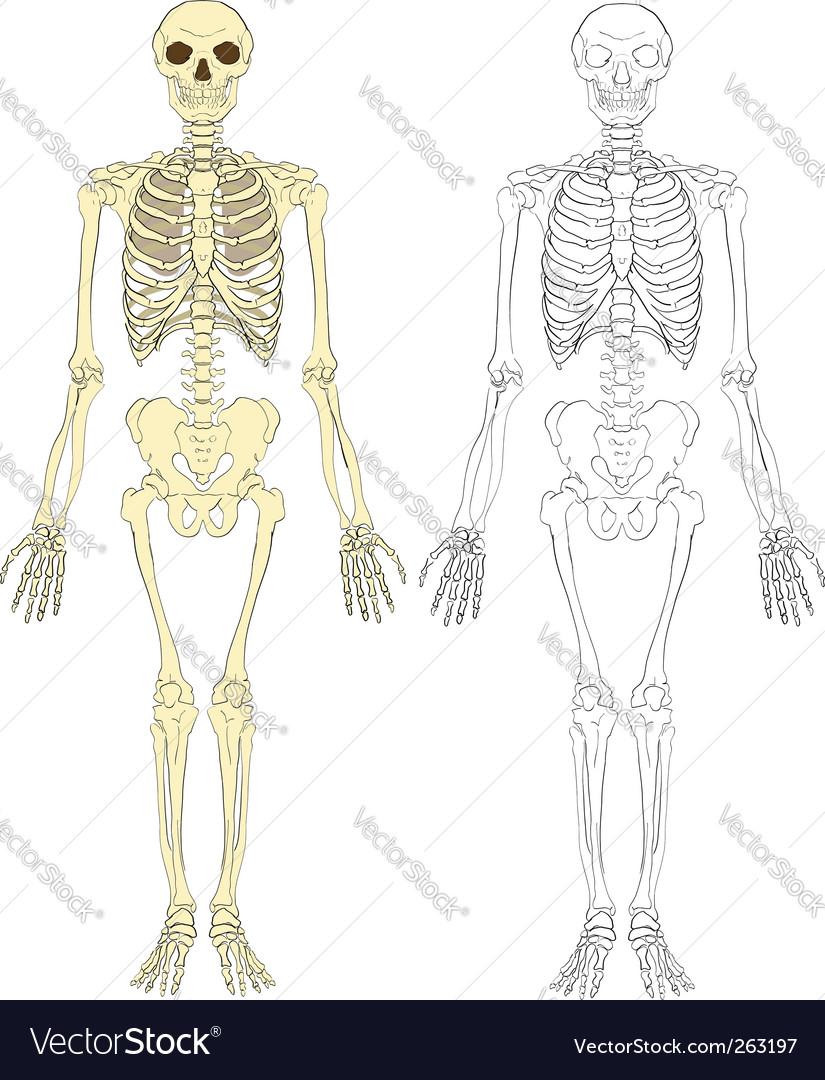 Skeleton illustration vector image