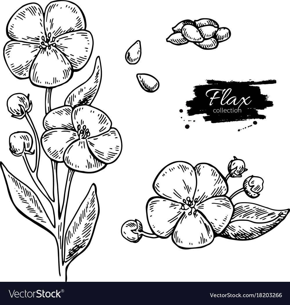 Flax flower and seed superfood drawing set vector image