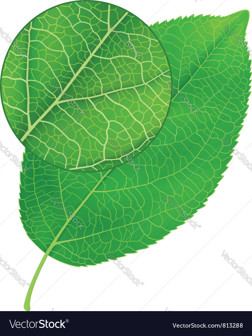 Detailed green leaf Vector Image