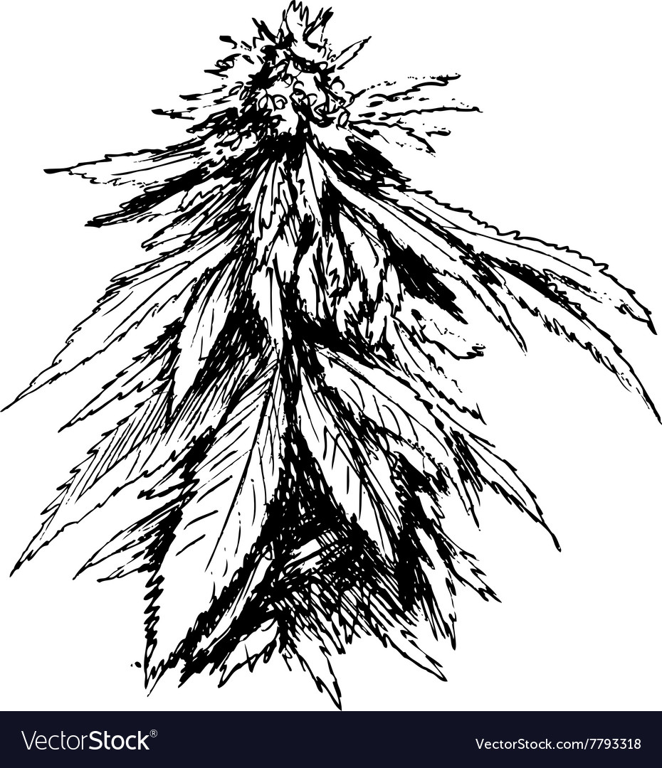 Hand sketch of marijuana vector image