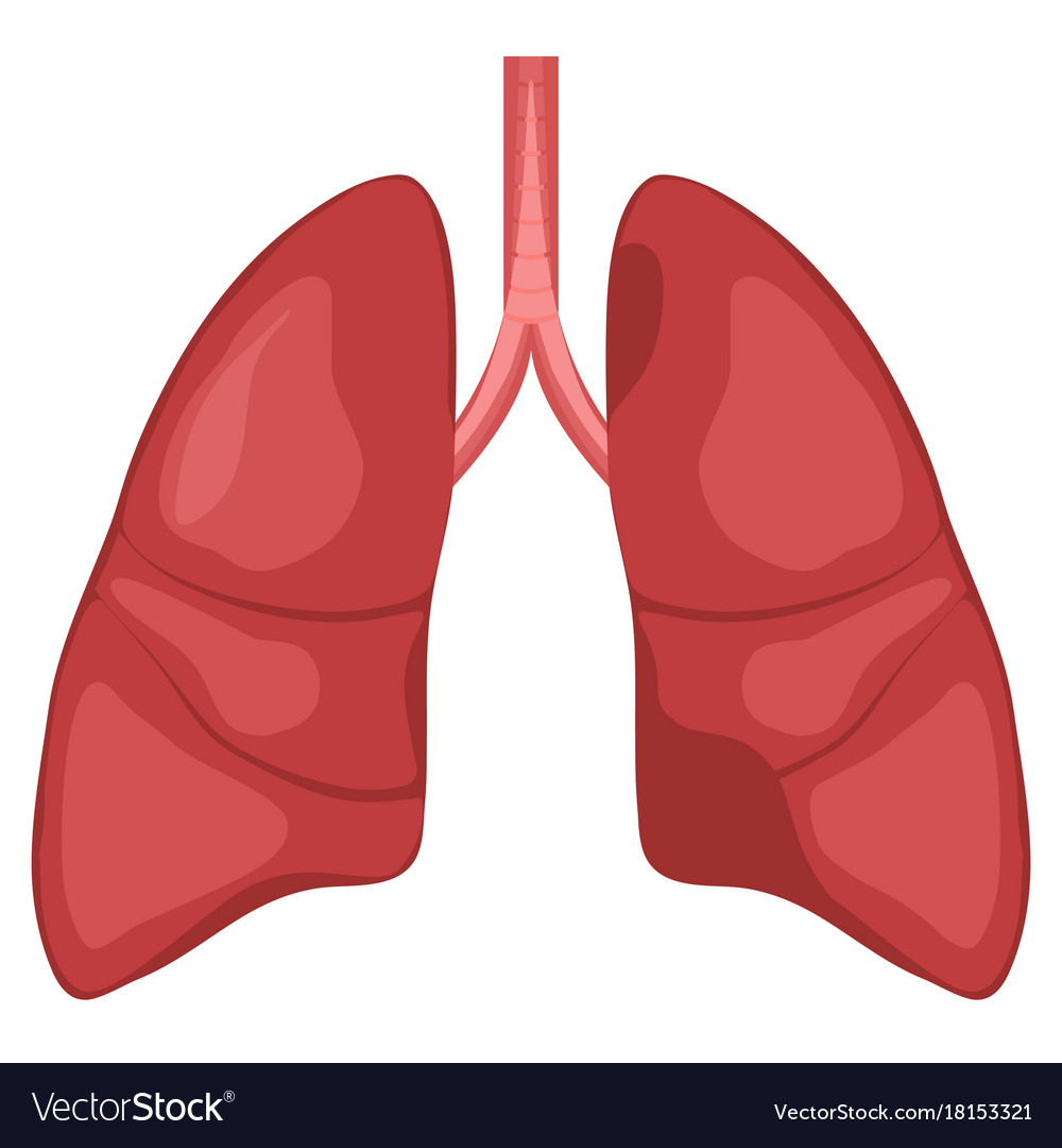 Human lung anatomy diagram royalty free vector image human lung anatomy diagram vector image ccuart Images