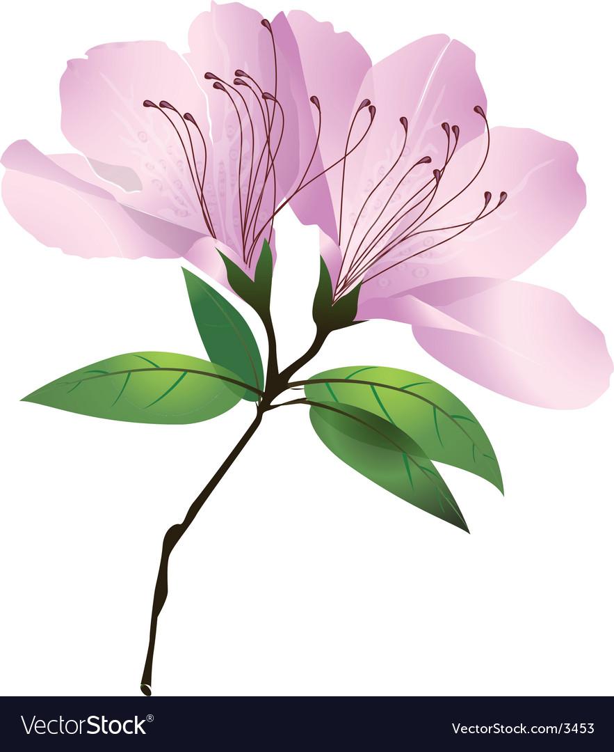 Plants and flowers azalea blossom vector image