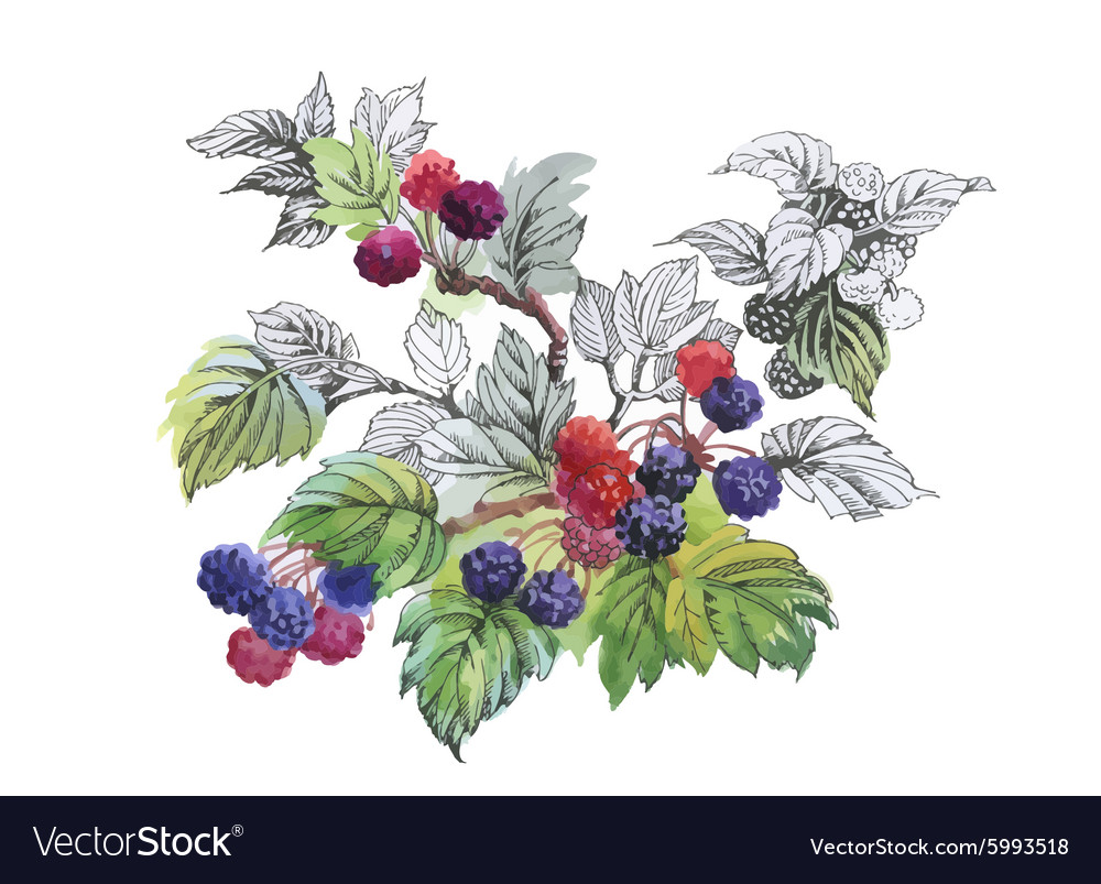 Watercolor blackberry on white background vector image