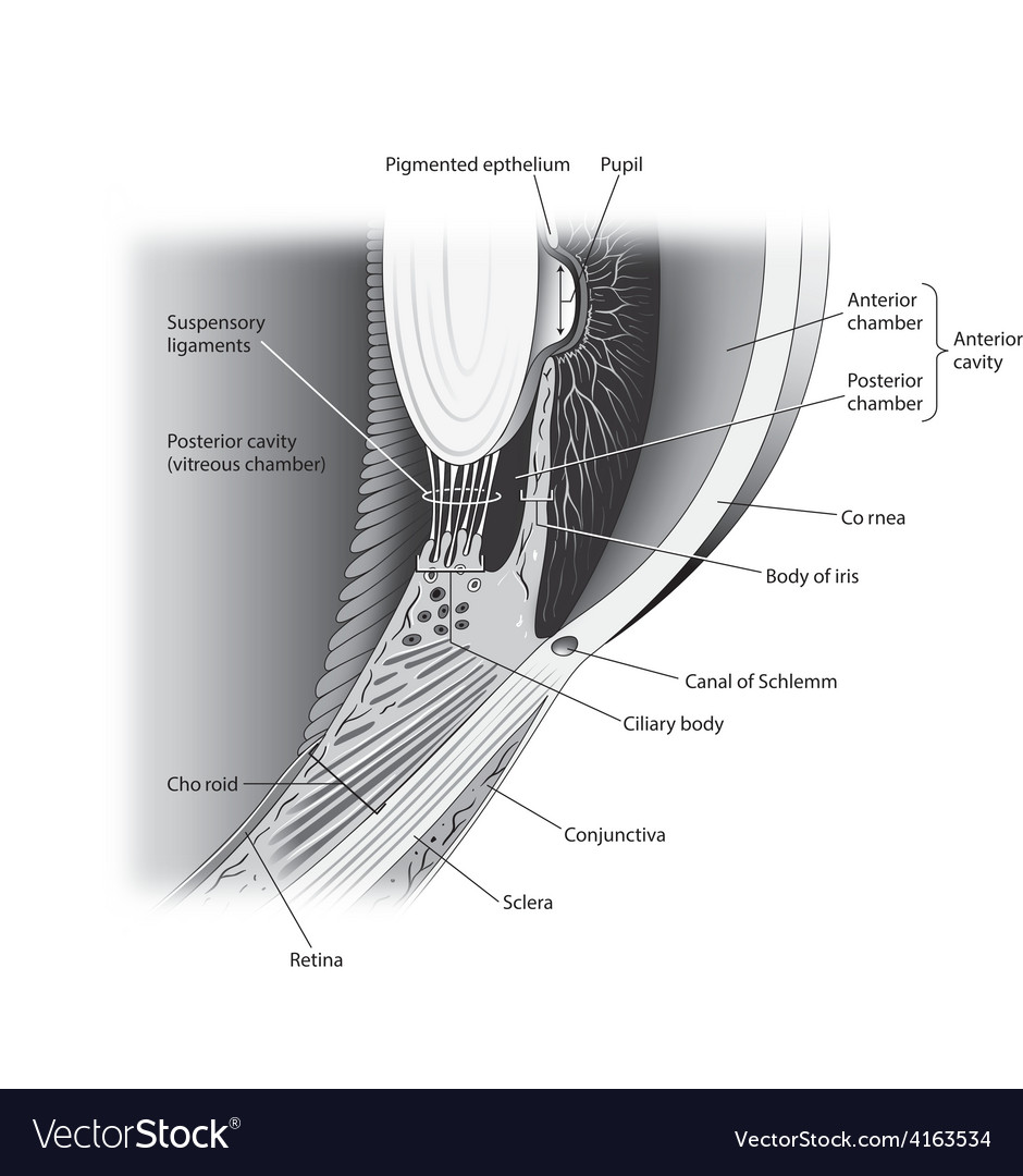 Eye lateral cutaway view vector image