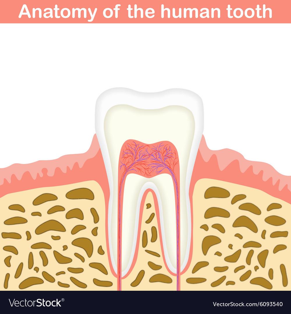 Anatomy of human tooth vector image
