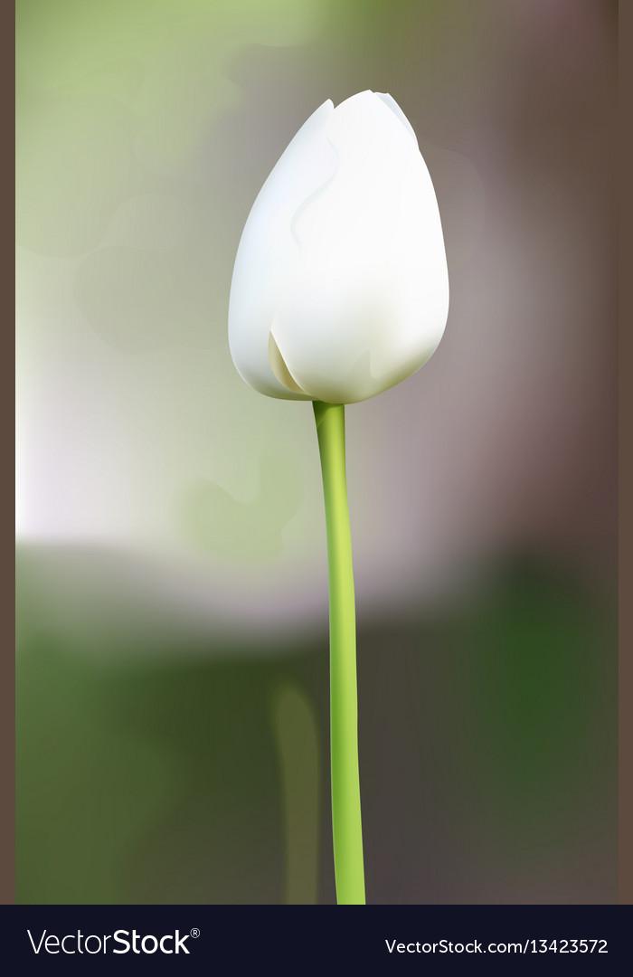 White tulip flower blossom vector image