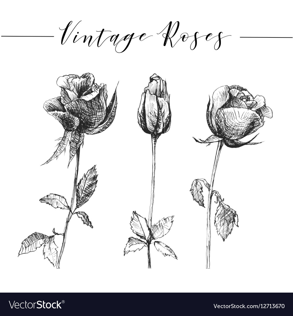 Hand drawn romantic roses vector image