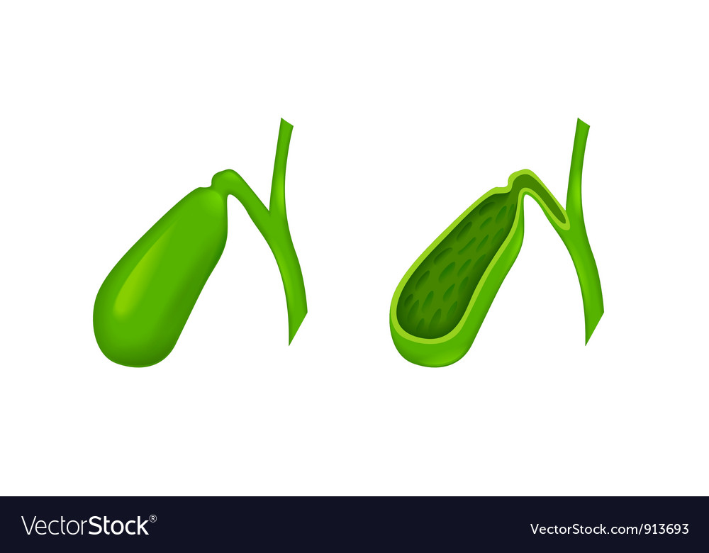 Gallbladder vector image