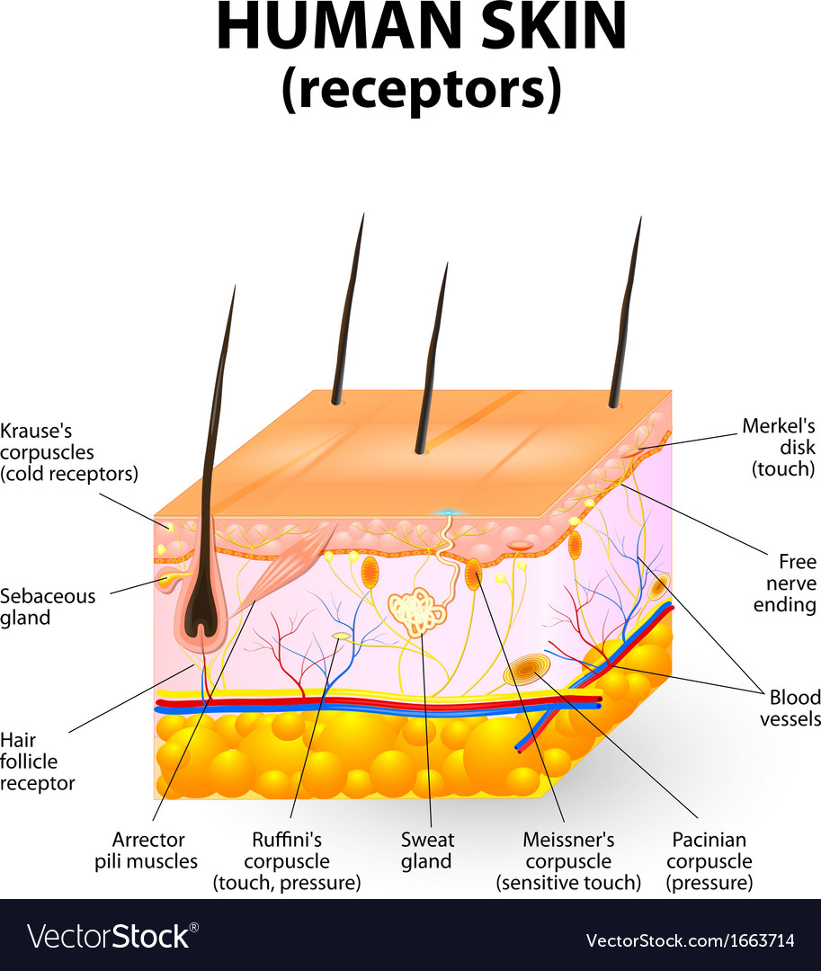 Cross Section Human Skin Royalty Free Vector Image