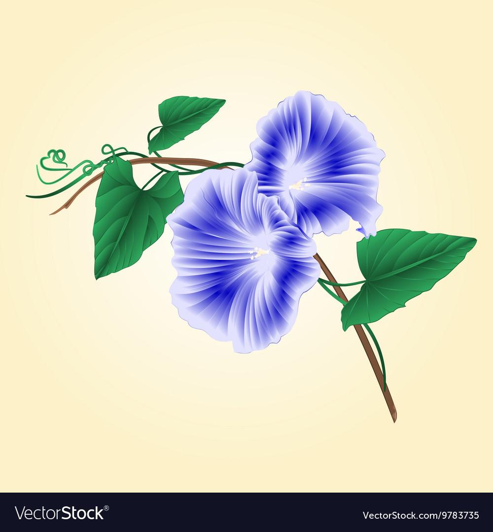 Morning Glory Blue Spring Flower Vintage Vector Image