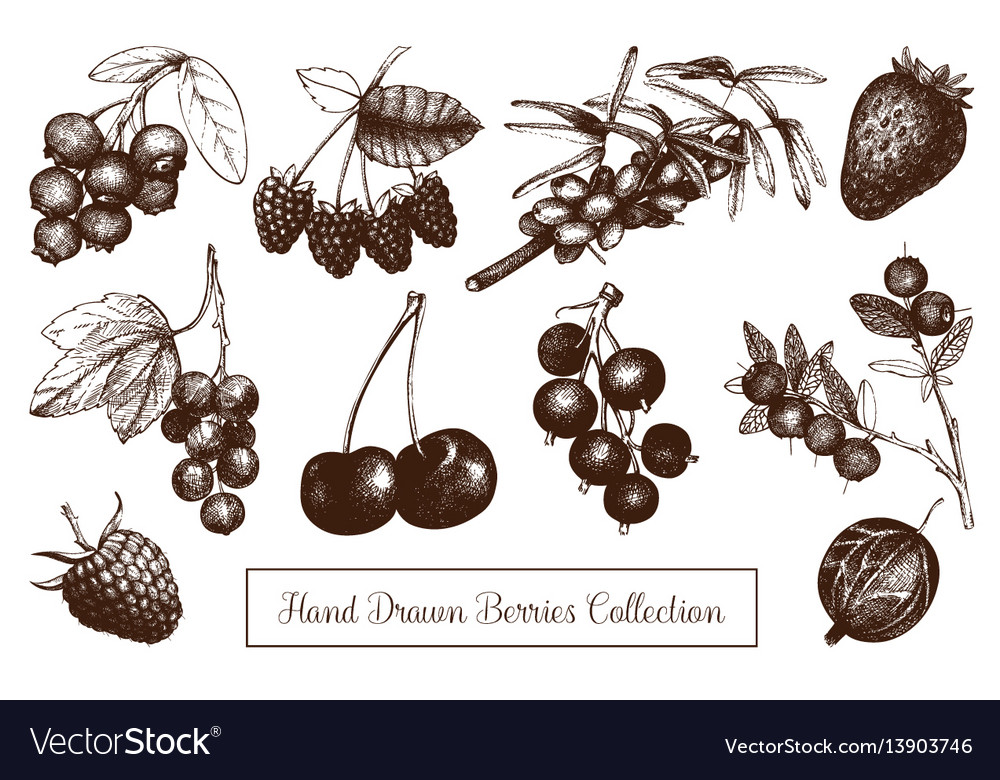 Vintage berry sketches set vector image