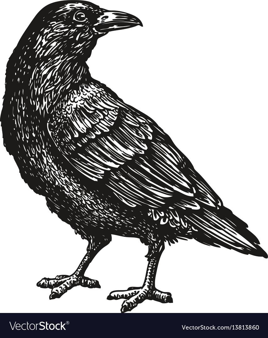 Hand-drawn black crow raven bird sketch vector image