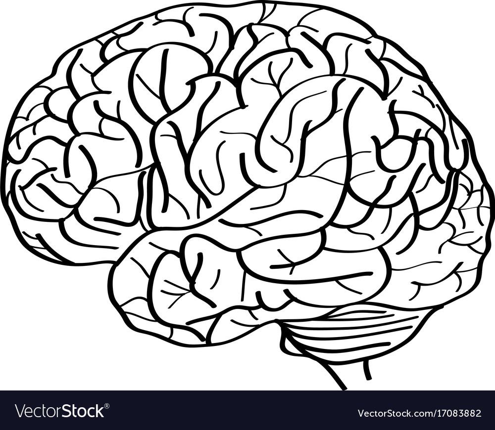 Blank human brain outline