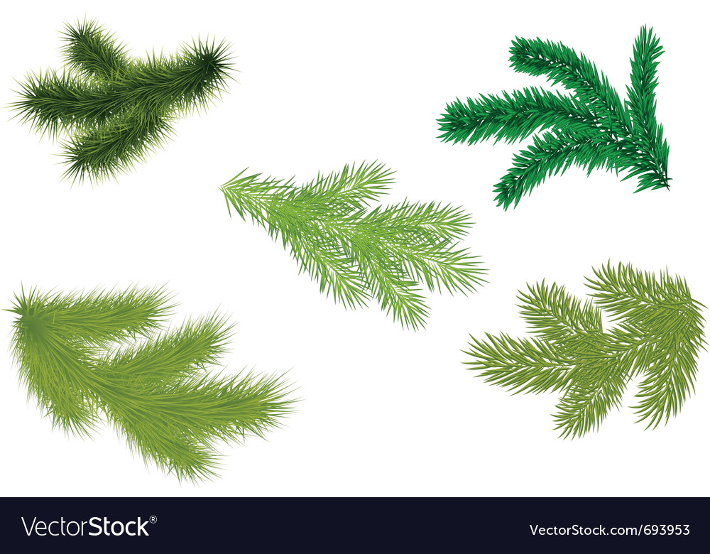Fir branches illustrator vector image