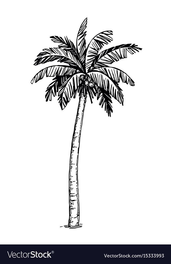 Coconut palm tree vector image