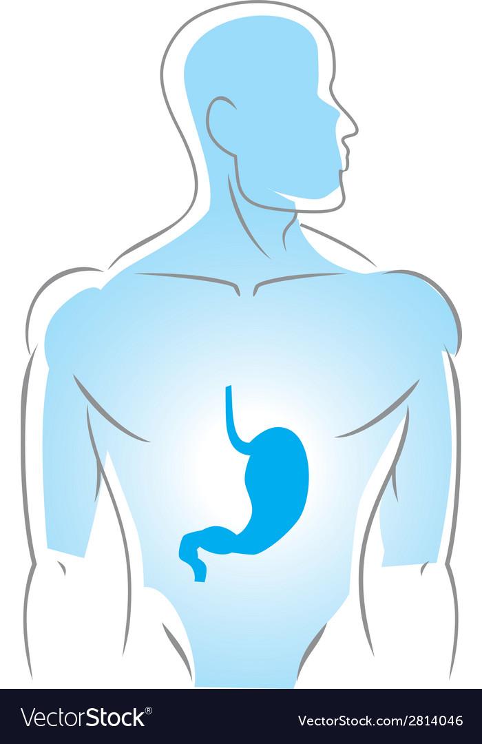 Internal organs stomach vector image
