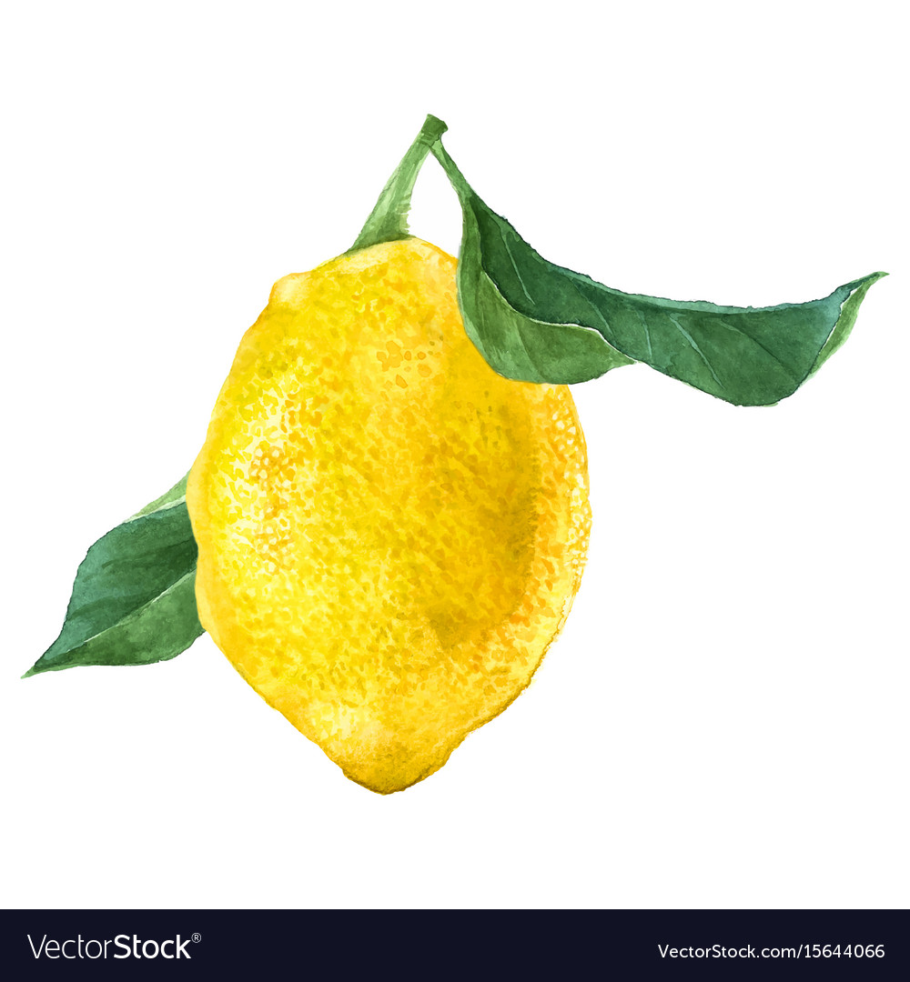 Watercolor lemon fruit vector image