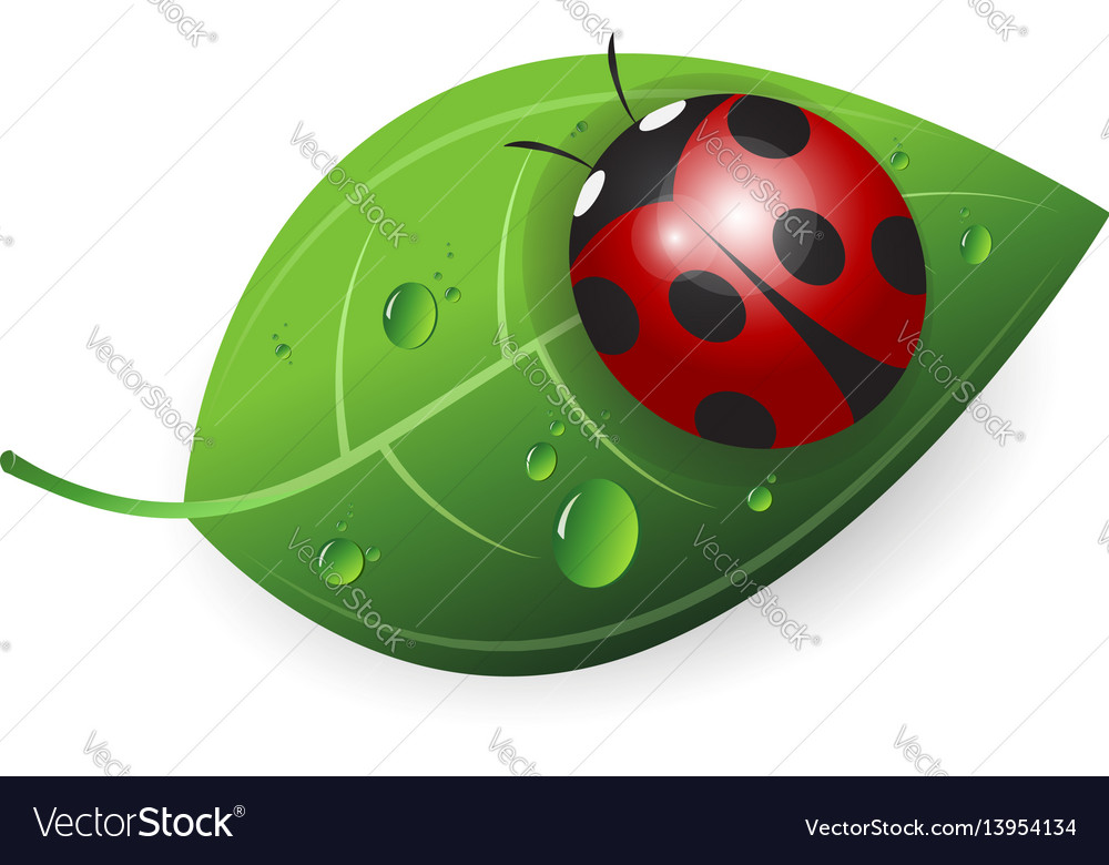 Ladybird on a green leaf vector image