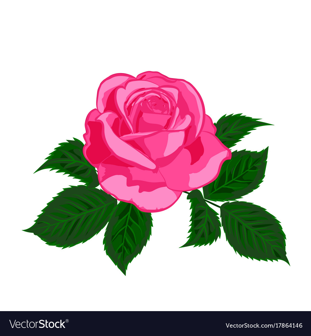 Pink rose on white background vector image