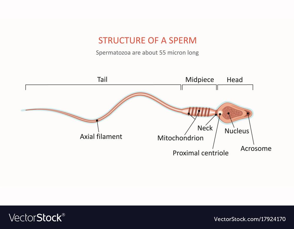 Anatomy of sperm cell