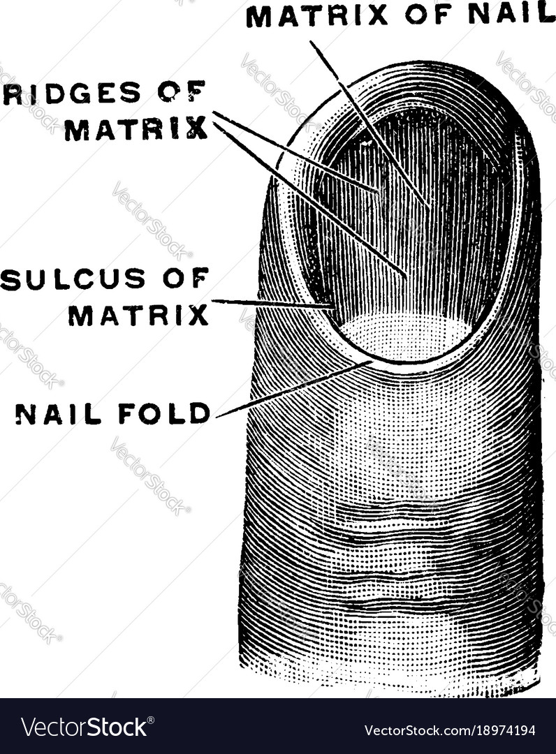 Matrix of a fingernail vintage royalty free vector image matrix of a fingernail vintage vector image pooptronica Gallery