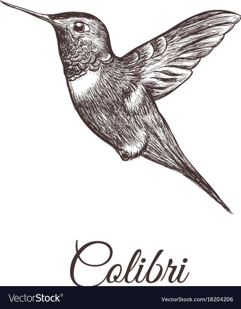Hummingbird sketch hand drawing colibri vector image