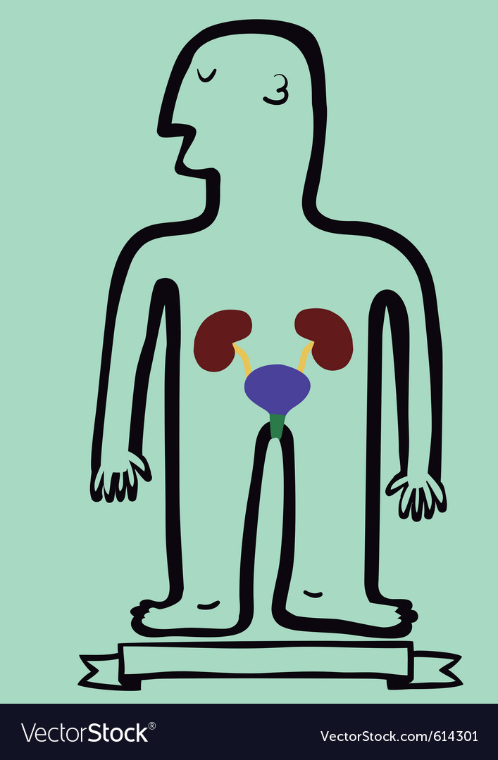 Human body kidneys and bladder vector image