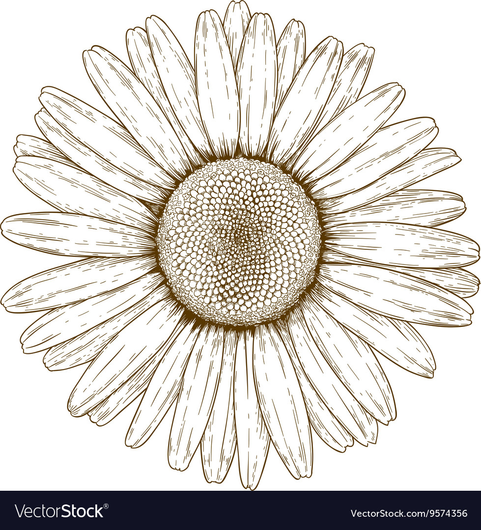 Engraving chamomile vector image