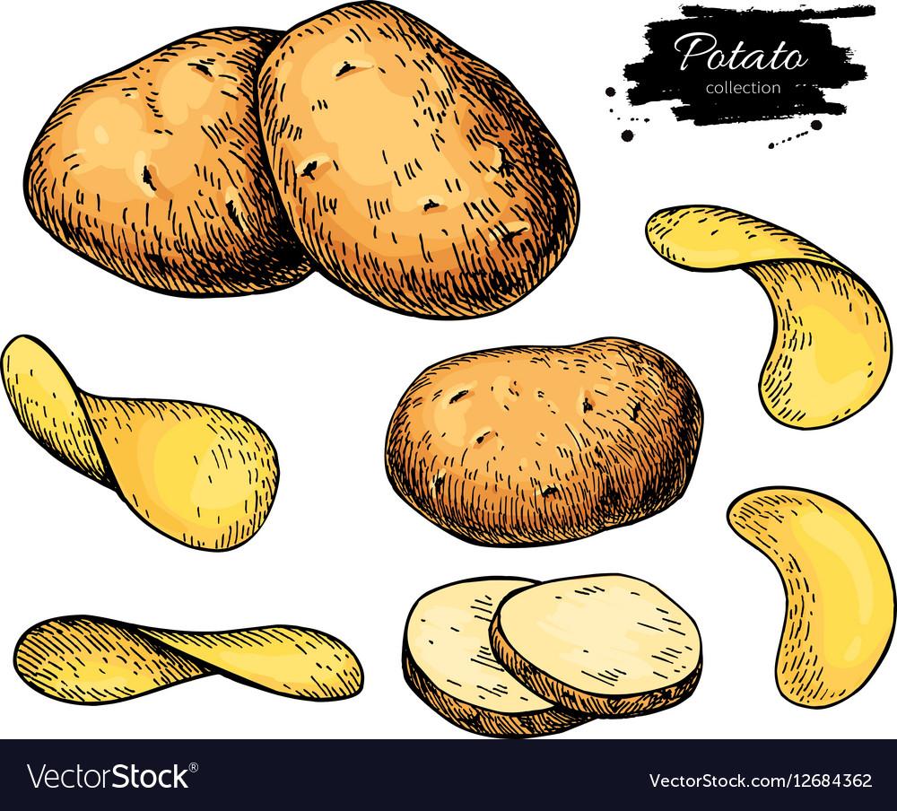 Potato drawing set Isolated potatoes heap vector image