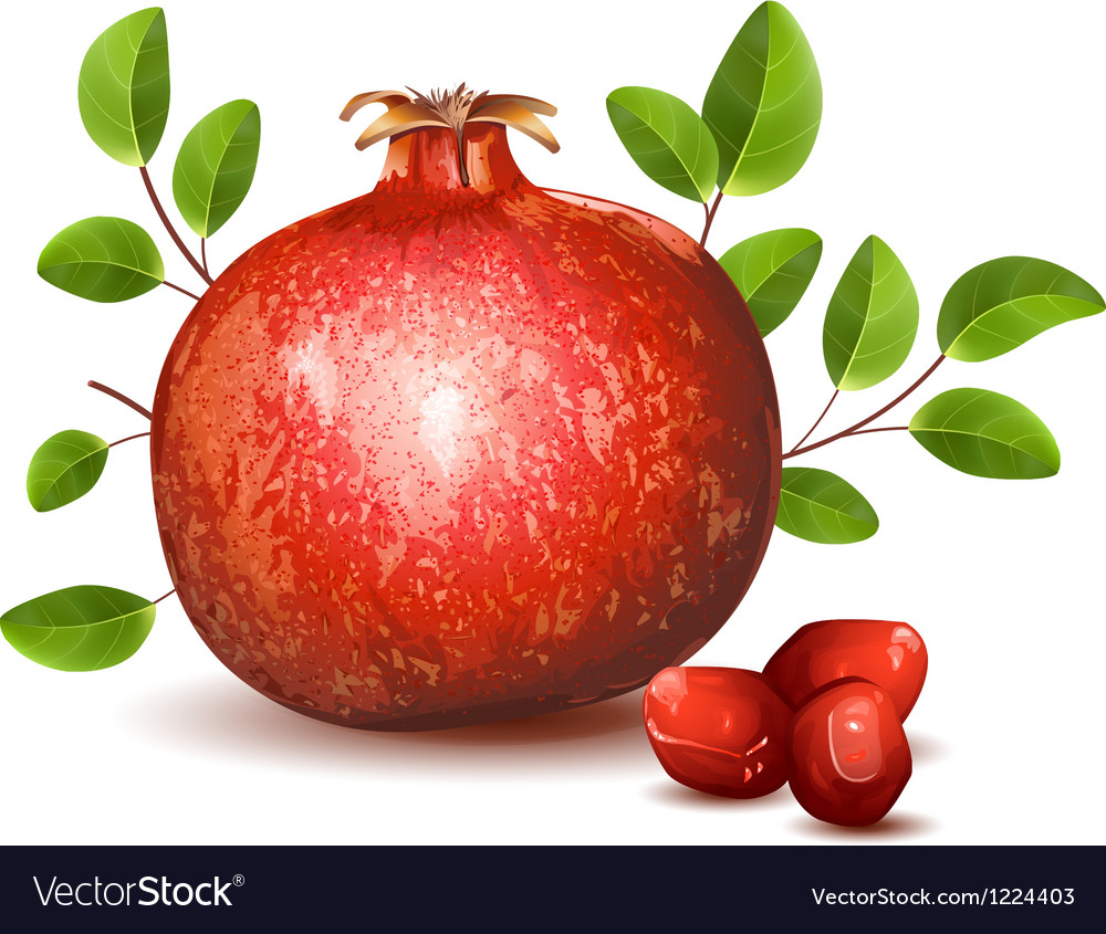 Pomegranate with leaves vector image