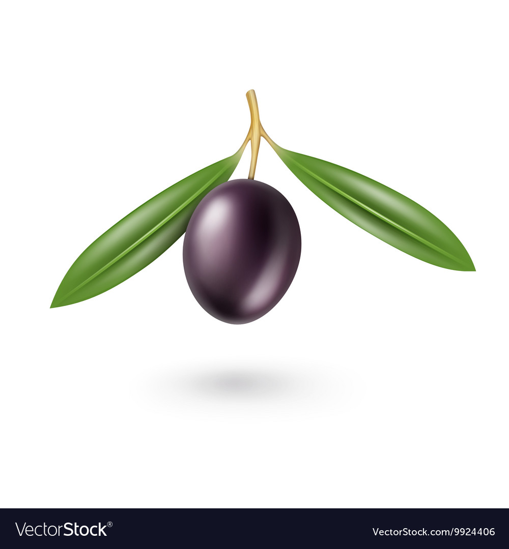 Black Olive with Leaves Isolated on White vector image