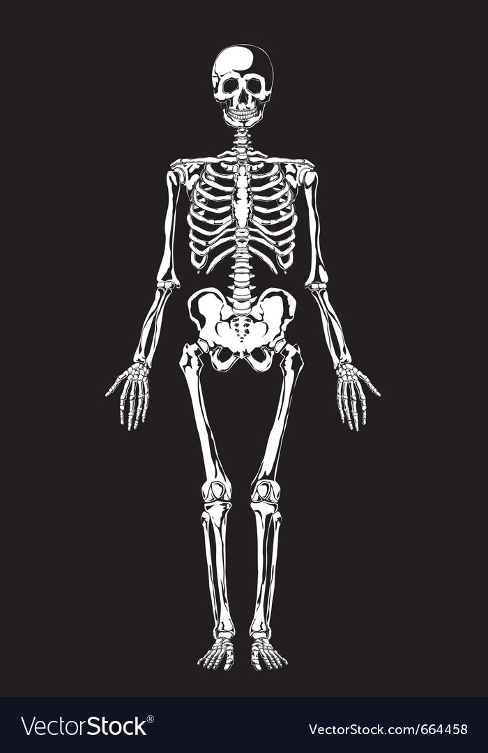 Skeleton layers vector image