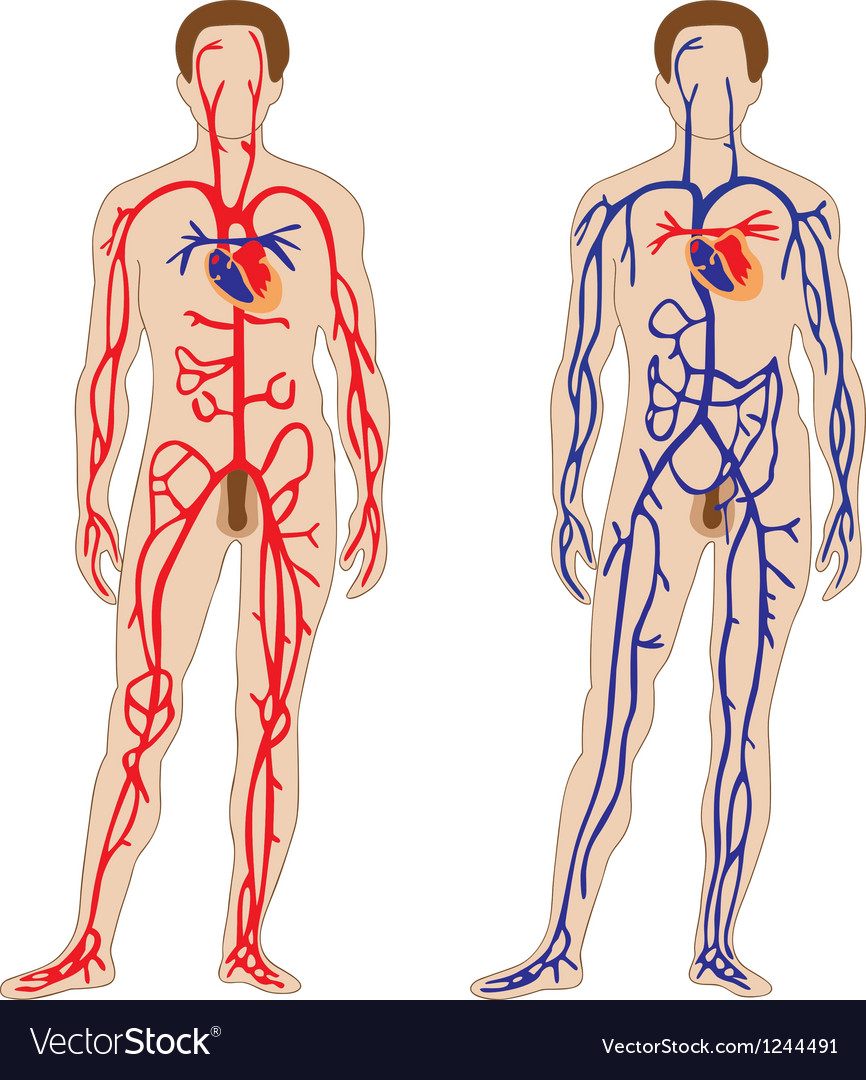 Venous and arterial system of the human vector image