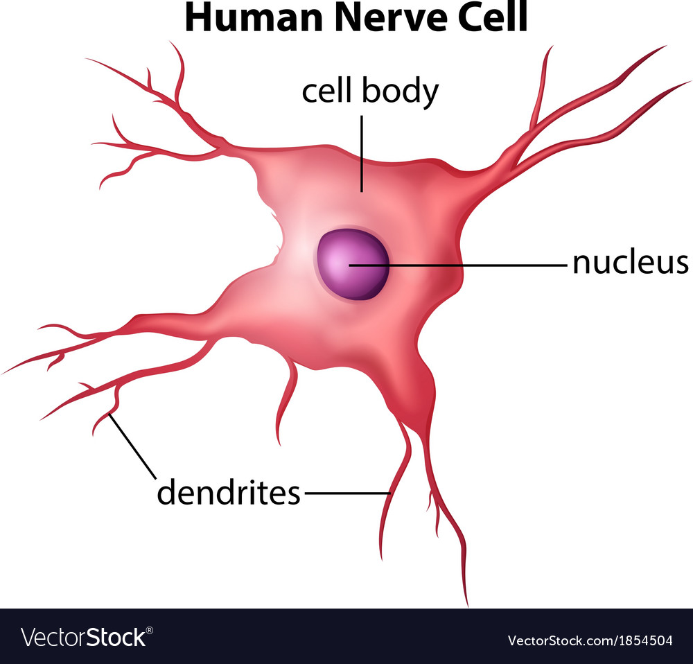 human nerve cell royalty free vector image vectorstock resale clipart free resale clipart free