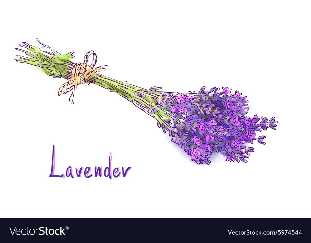 Lavender bunch with a jute rope Sketch with waterc vector image