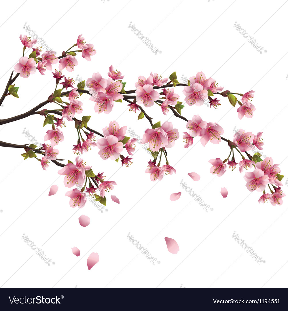 Sakura blossom Japanese cherry tree isolated vector image